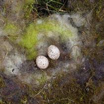 Zwei unbebrütete Eier der Blaumeise.