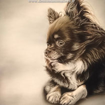 Portrait de Chihuahua marron foncé et blanc