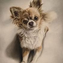 Portrait de Chihuahua marron et blanc