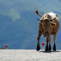 Vache au col d'Aspin!