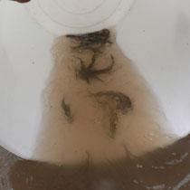 Déversement de goujons sur la Roanne AAPPMA Chastang-Beynat