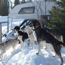 Die Hunde geniessen den genialen Auslauf. Was machen bloss die Nachbarn?