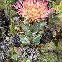 Swartberg Pass Protea