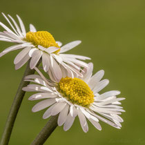 A pair of Daisy's