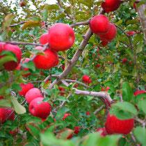 立科リンゴ