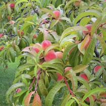 Peaches in 2019 (photo K. Bozak)