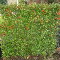Feuerdornhecke - Mobilane Fertighecke® - Pflanzfertige Heckenelemente - Fertiger Sichtschutz - Garten Bronder©