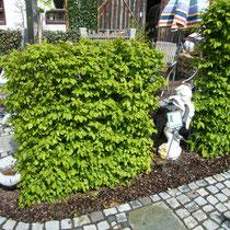 Hainbuchenhecke - Mobilane Fertighecke® - Pflanzfertige Heckenelemente - Fertiger Sichtschutz - Garten Bronder©