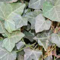 Efeuhecke - Mobilane Fertighecke® - Pflanzfertige Heckenelemente - Fertiger Sichtschutz - Garten Bronder©
