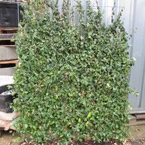 Euonymushecke - Mobilane Fertighecke® - Pflanzfertige Heckenelemente - Fertiger Sichtschutz - Garten Bronder©