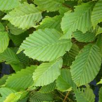 Hainbuche - Mobilane Fertighecke® - Pflanzfertige Heckenelemente - Fertiger Sichtschutz - Garten Bronder©