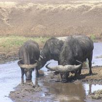 Büfffel im Arusha Nationalpark