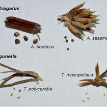 Astragalus y Trigonella