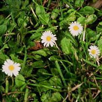 Bellis perennis (Gänseblümchen)
