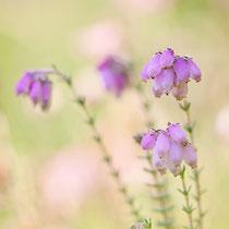 Moor-Glocken-Heide (Erica tetralix)