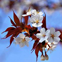 Kirschblüte am Tetsugaku-no-michi  哲学の道