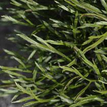 Nordischer Streifenfarn  •  Asplenium septentrionale. Die Blattspreite ist unregelmäßig gabelig in 2 bis 5 sehr schmale Abschnitte geteilt. © Françoise Alsaker