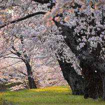 夕日桜の木の下で