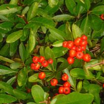 Feuerdorn - Mobilane Fertighecke® - Pflanzfertige Heckenelemente - Fertiger Sichtschutz - Garten Bronder©