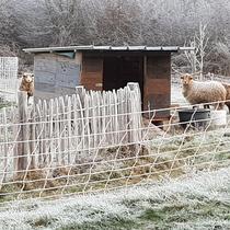 Unsere drei Schafe