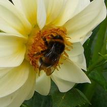 Gartenhummel (C.E.)