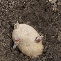 vorgekeimte Kartoffeln Nicola, am 8.4.2016 gepflanzt