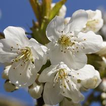 Kirschblüte 20. April 2016