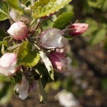 Apfelbaumblüte 30.4.2016