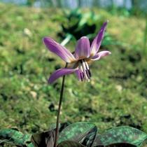 Erythrone dent de chien (Erythronium dens-canis) - Crédit photo : promesse de fleurs