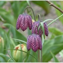 Fritillaire pintade (Fritillaria meleagris) -  Crédit photo : promesse de fleurs