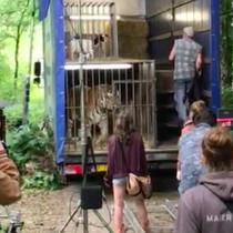 Dreh mit Tiger und Ziege im Käfig