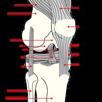 Anatomía de la babilla