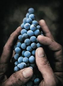 Vigne & raisins