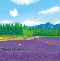 富良野ラベンダー畑