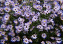 Ein Beet mit blauen Gänseblümchen. Siegfried Beiser Photography