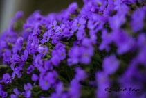 Polsterstauden. Blau blühend. Siegfried Beiser Photography