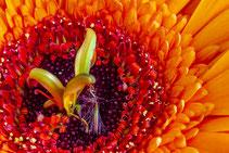Staubgefäse einer roten Blüte. Makroaufnahme. Siegfried Beiser Photography