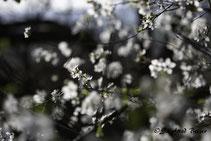 Blühender Strauc mit weißen Blüten. Siegfried Beiser Photography