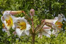 Blüten einer Königslilie. Siegfried Beiser Photography