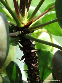 Stamm einer Ufopflanze (Pilea peperomioides)