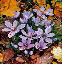 fotos safranknollen crocus sativus. Black Bedroom Furniture Sets. Home Design Ideas