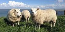 Texelse schapenvachten schapenvacht sheepskin schaffell