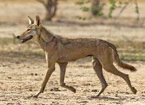 loup des indes