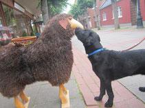 Qube, unser Patenhund. Wenn er gross und stark ist (und einigermassen vernünftig) wird aus ihm ein Blindenführhund.