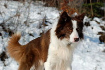 red border collie stud dog