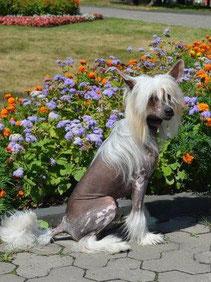 щенок китайской хохлатой голый мальчик бело-бронзовый