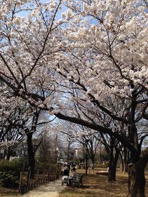 練馬駅前の桜