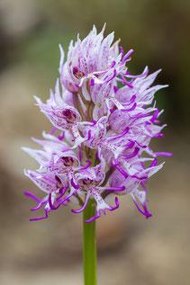 Affen-Knabenkraut (Orchis simia)