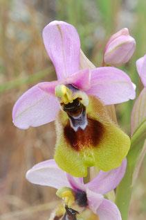 Großblütige Wespenragwurz (Ophrys tenthredinifera ssp. grandiflora)