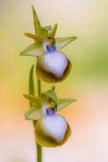 Ophrys helenae var. planimaculata